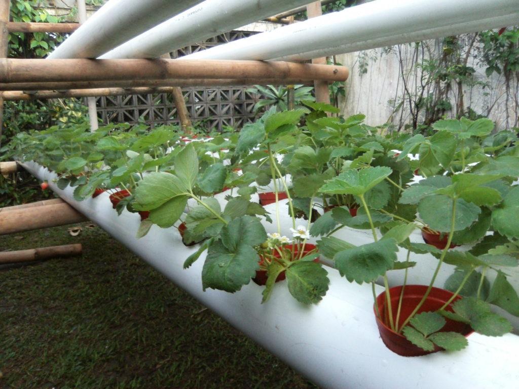 Выращивание на гидропонике клубники в домашних условиях